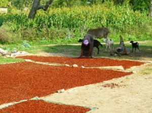 A field full of drying berbere